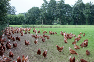 kippen in de vrije uitloopweide bij Boerderij van Steenbergen