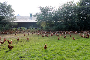kippen in de uitloopweide bij Boerderij van Steenbergen
