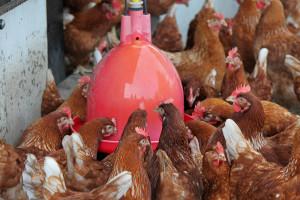 kippen bij Boerderij van Steenbergen