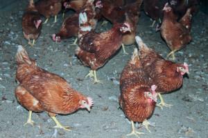 kippen in de scharrelstal bij boerderij van Steenbergen